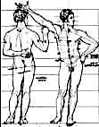 proportions of the human figure